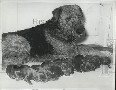 1961 Press Photo Airedale Found in Rabbit Hole With 11 Puppies