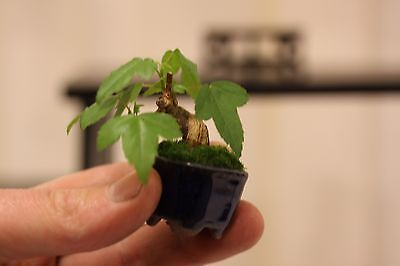 25 Trident Maple Seeds Acer buergerianum Bonsai Landscape - FREE SHIPPING - US
