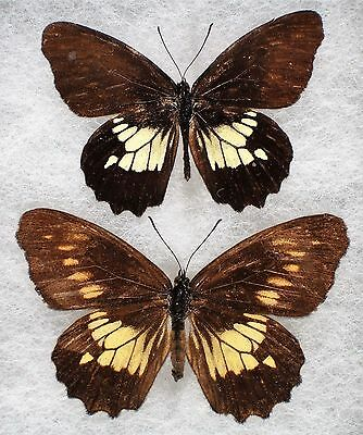 Insect/Butterfly/ Eteona tisiphone - Pair