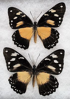 """Insect/Butterfly/ Papilio dardanus ssp. - 2 Female Forms 3"""" Type I"""
