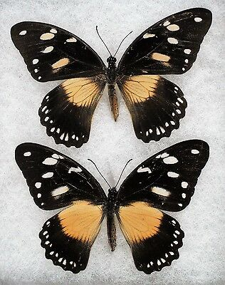 """Insect/Butterfly/ Papilio dardanus ssp. - 2 Female Forms 3"""" Type II"""