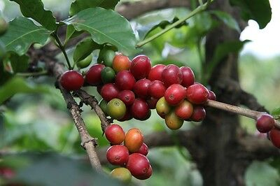 10 Coffee Tree Seeds  - Coffea Arabica Tree- Indoor or Outdoor - Combine Ship