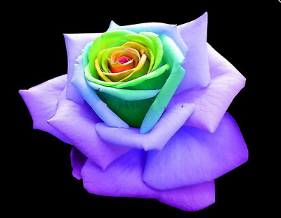 20 Seeds of the world's rare Yellow Heart Green Purple Rose Flower Seeds