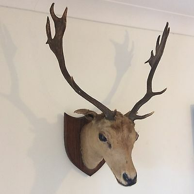 Great c1940s Shabby VINTAGE TAXIDERMY Deer STAG HEAD Antlers, Pub Hotel Decor