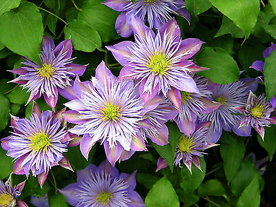 Clematis - Crystal Fountain - seeds