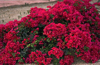 Bougainvillea - Burgundy Wine & Pink and White Surprise - seeds.