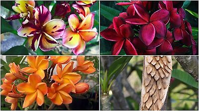 Frangipani Seeds Thailand Plumeria Rubra Black Cyclone Blood Red Orange or Mixed