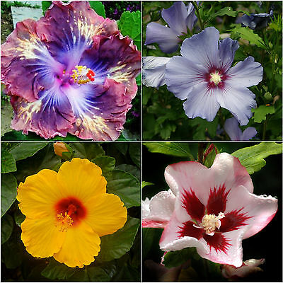 Exotic Tropical Hibiscus Seed Purple Yellow Red Pink Blue New Mixed Plant Seeds