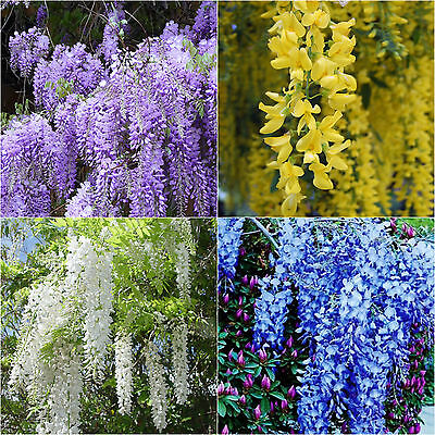 Wisteria Seeds Exotic Chinese Purple Blue Yellow White Garden Tree Plant Seed