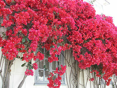 Bougainvillea - San Diego Red - seeds.