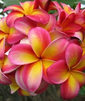 Plumeria - 4 varieties to select from  - seeds - rare