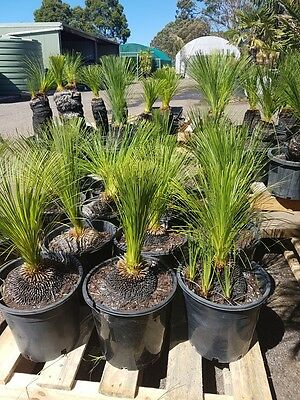 Grass Tree Xanthorrhoea Johnsonii 25Cm Pot - Size B