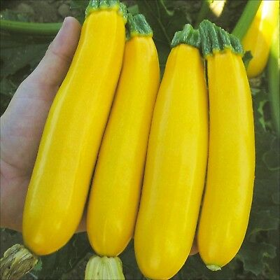 Squash Golden Zucchini 15+ Seeds Tender Delicious Prolific * COMBINED SHIPPING *
