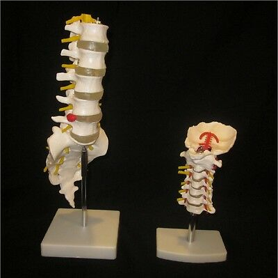 Life Size Chiropractic Human Anatomical Lumbar + Cervical Spine Anatomy Models
