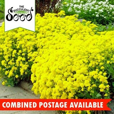 ALYSSUM  - Basket of Gold (600 Seeds) LONG BLOOMS Fragrant BORDERS Containers