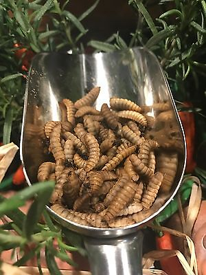 Live Black Soldier Fly Larvae - Approx. 150 Buyer's Responsibility In Heat BSFL