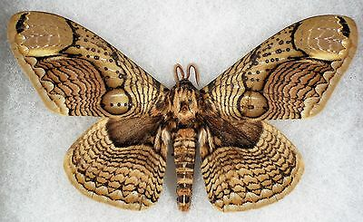"""Insect/Moth/ Moth ssp. - Male 4 3/4"""""""