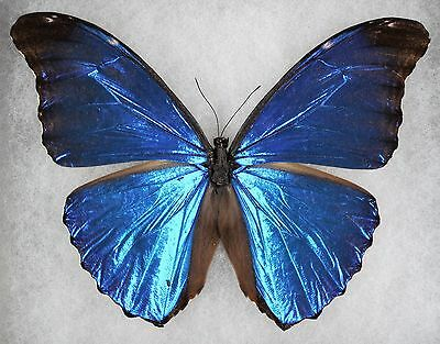 """Insect/Butterfly/ Morpho absoloni. - Male 4.5"""""""