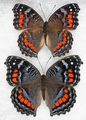 """Insect/Butterfly/ P. octavia - 2 Female Forms 2 1/8"""""""