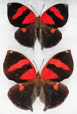 """Insect/Butterfly/ Siderone nemesis - Pair 2.5"""""""