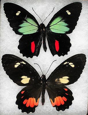 Insect/Buttefly/ Parides childrenae - Pair