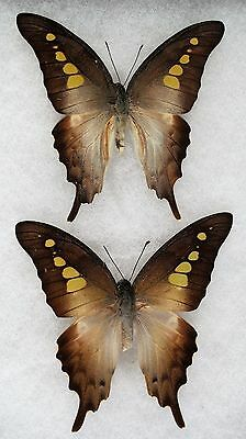 """Insect/Butterfly/ Butterfly ssp. - Pair 3 1/4"""""""