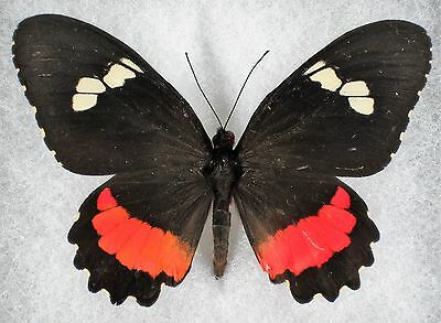 """Insect/Butterfly/ Papilio ssp. - Female 3"""""""