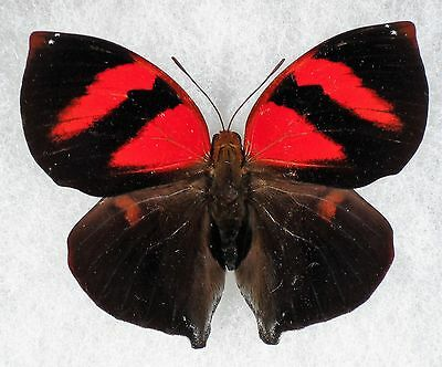 """Insect/Buttefly/ Siderone nemesis - Male 2 1/4"""""""