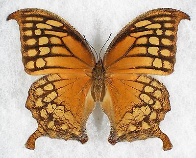 """Insect/Butterfly/ Anaea excellens - Female 3 1/4"""""""
