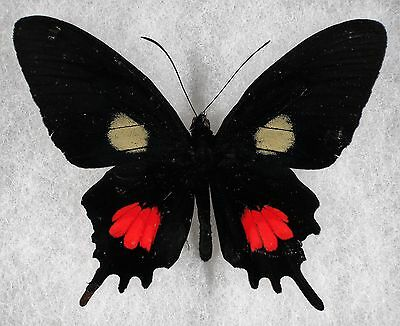 """Insect/Butterfly/ Parides tros - Male 3 1/4"""" Repaired"""