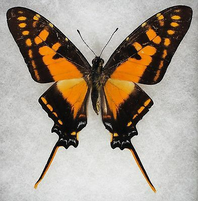 """Insect/Butterfly/ Papilio ssp. - Male 3"""""""