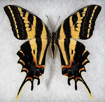 """Insect/Butterfly/ Papilio pilumnus - Female 4"""""""