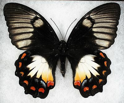 """Insect/Butterfly/ Papilio ssp. - Female 4.5"""""""