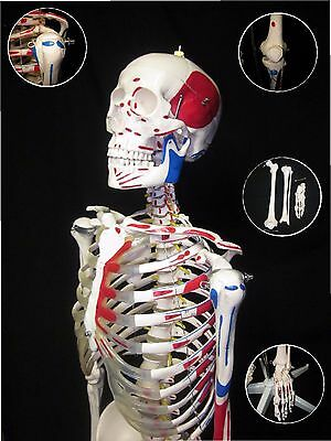 Advanced LifeSize Numbered Human Anatomical Painted Muscle Skeleton Model +STAND
