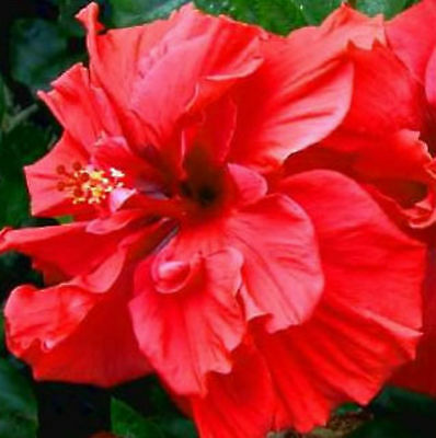 Hibiscus - Double Scarlet - seeds - giant