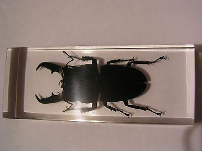 Giant Stag Beetle in acrylic paperweight 4 1/4x1x2 inch real stag pinch beetle