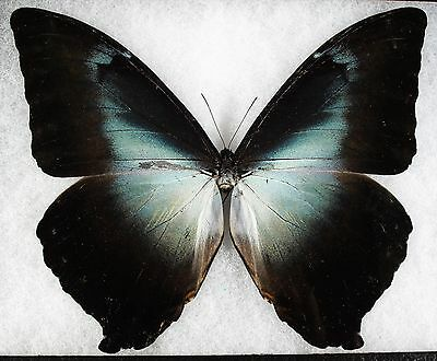 Insect/Butterfly/ Morpho ssp. - Male 6 1/4""