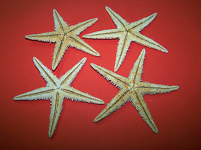 Large (7 - 9cm) Natural Starfish - Craft Work, Embellishments, Displays etc.