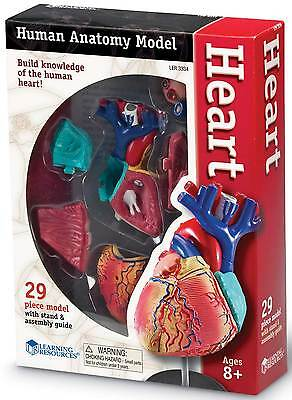 Learning Resources Heart Anatomy Model For Children - Science **New**