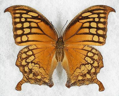 Insect/Butterfly/ Anaea excellens - Female 3 1/4""