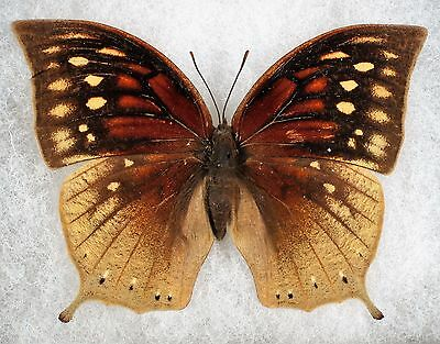 Insect/Butterfly/ Anaea nobilis - Female 2 3/4""