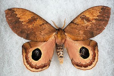 Insect/Moth/ Moth ssp. - Male 3 3/4""