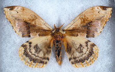 Insect/Moth/ Moth ssp. - Male 3.5""