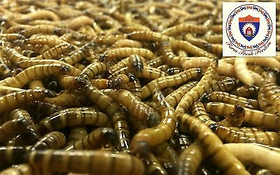 Live Organic Superworms - 500 Small - Free Shipping!