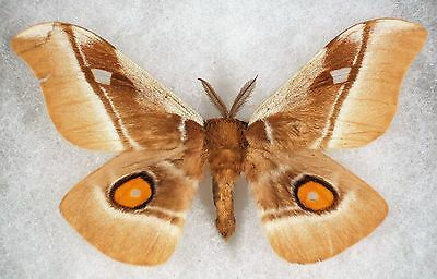 Insect/Moth/ Bunea ssp. - Male 3.5""