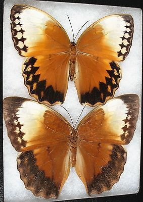 Insect/Butterfly/ Stichophthalma ssp. - Pair 5 1/4""
