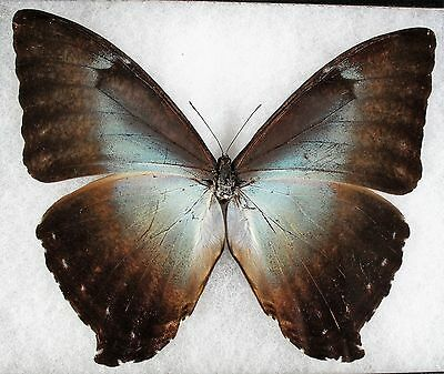 Insect/Butterfly/ Morpho ssp. - Male 6""