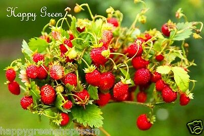 FREE P&P - WILD STRAWBERRY - 5500 seeds - LARGE PACKET Fragaria Baron Solemacher