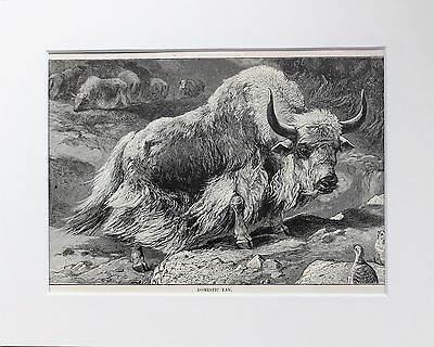 Domestic Yak - Antique Victorian B/W Print, Wood Engraving, Mounted