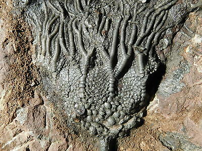 A BIG Nice 100% Natural 430 Million Year Old Crinoid or Sea Lily Fossil 2215gr